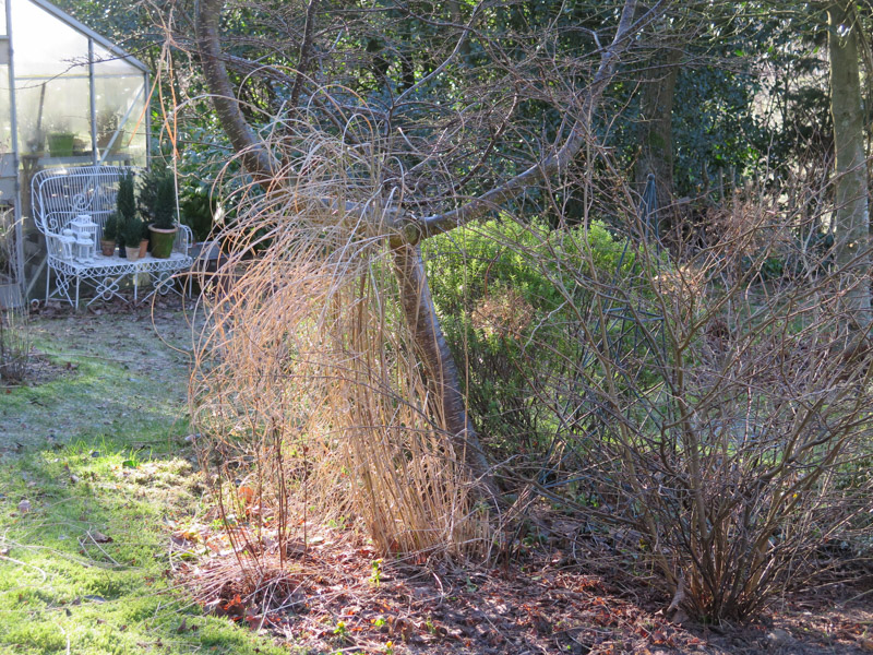 Miscanthus Morning Lights-36