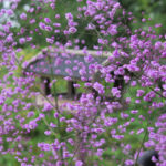 Thalictrum delavayi Hewitts Double-1