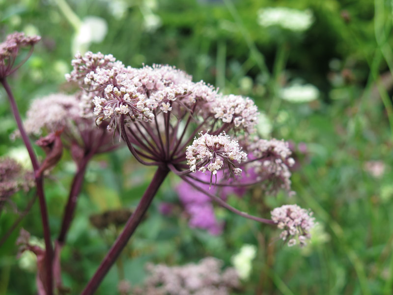 Angelica gigas 16-3