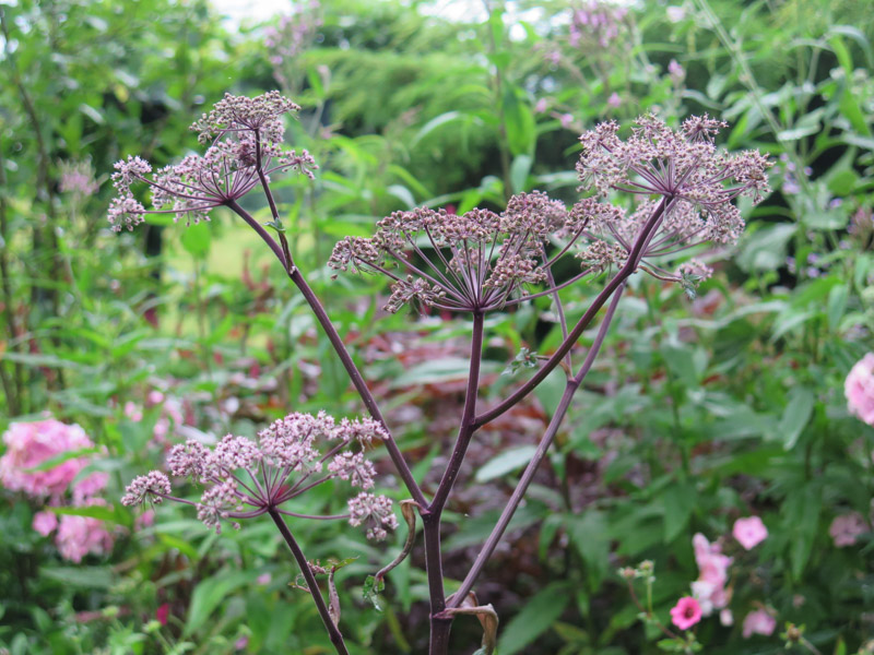 Angelica gigas 16-4