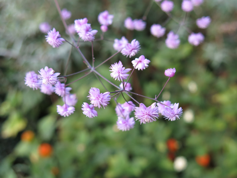 Thalictrum delavayi Hewitts Double-10