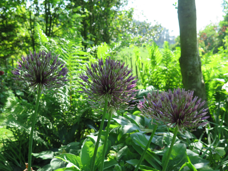 Allium Purple Rain-4