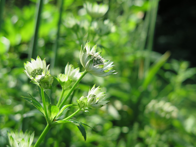 Astrantia major-26