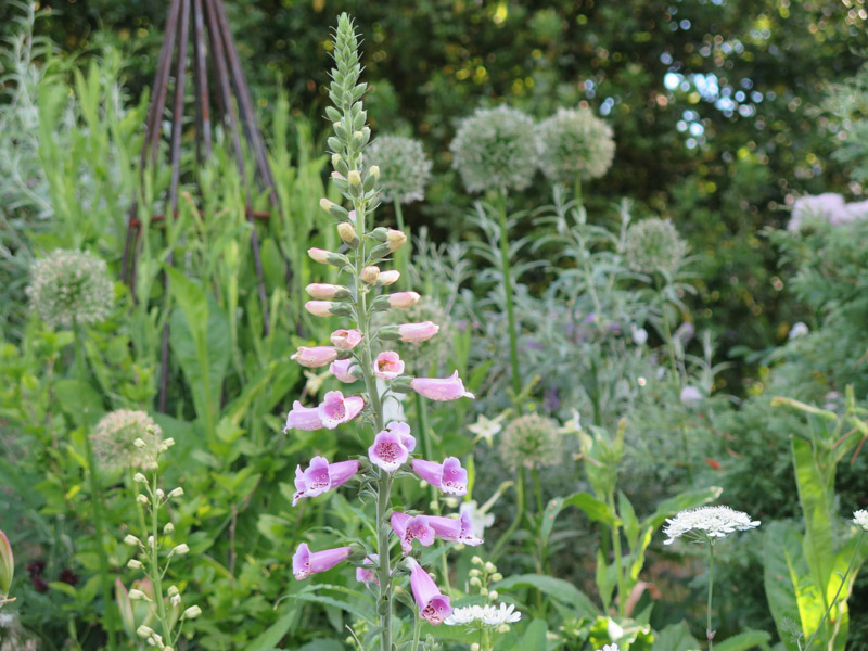 Digitalis purpurea-47