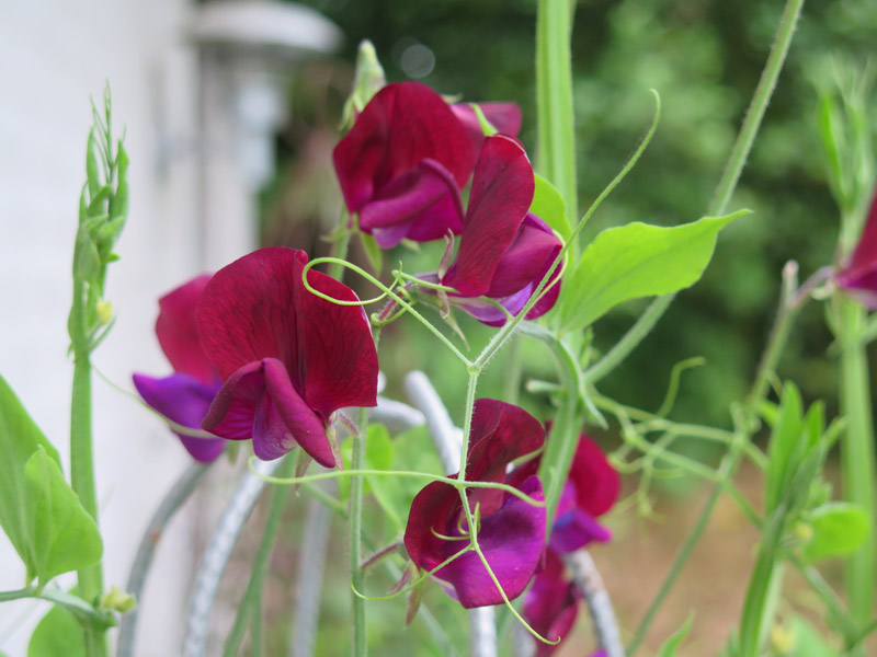Lathyrus odoratus Black Knight-5