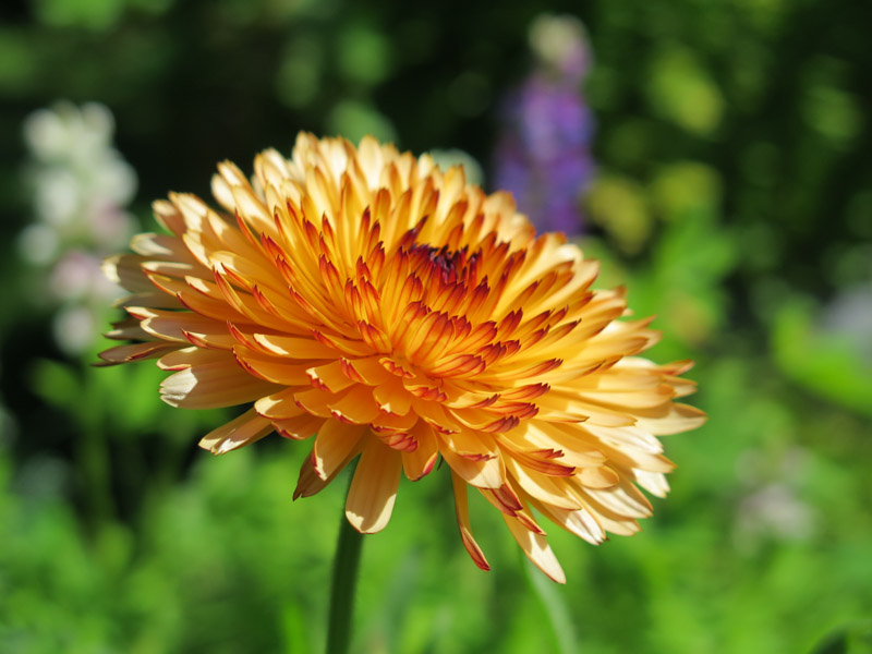Calendula officinalis Triangle Flashback-27