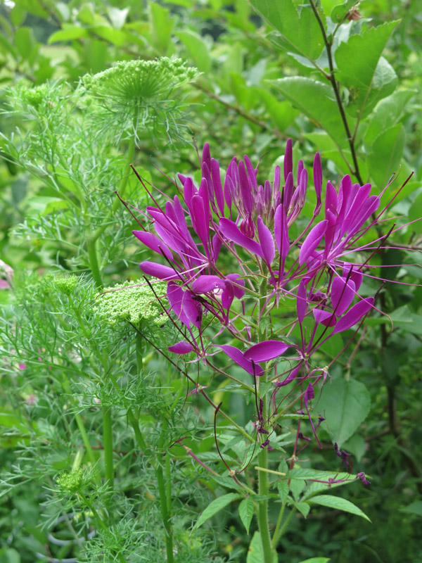 Cleome spinosa Violet Queen-7