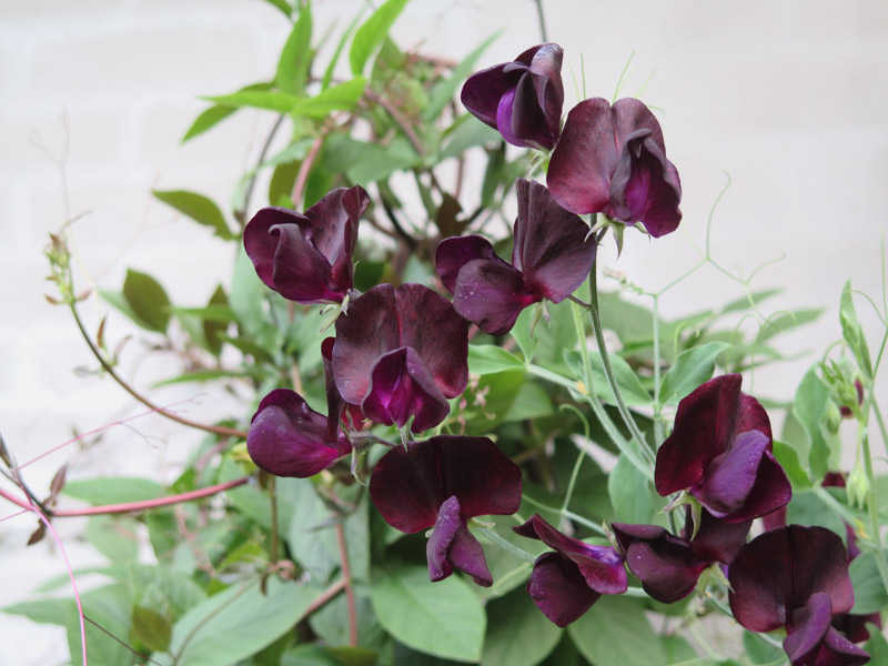 Lathyrus odoratus Almost Black-7