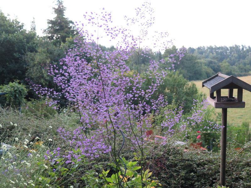 Thalictrum delavayi Hewitts Double-12